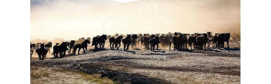 Trailers cavalli
